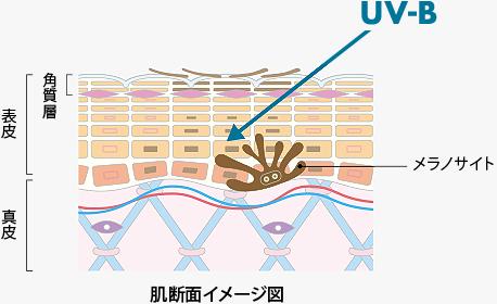 肌断面イメージ図